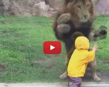 lion kid